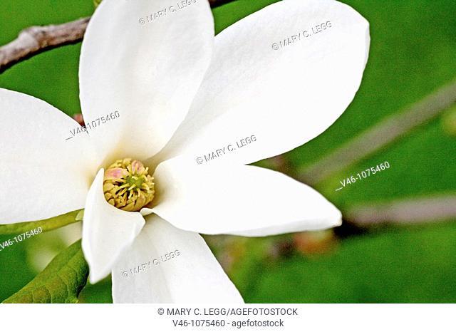 White magnolia flower  Center of newly opened white magnolia flower  Close-up