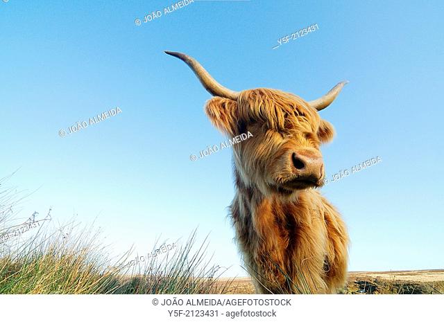 A highland cow that was roaming at Cartmoor