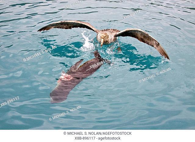 Southern Giant Petrel (Macronectes giganteus) and Northern Giant Petrel (Macronectes halli) tearing apart an Antarctic fur seal pup in the water at Grytviken on...
