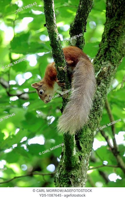 A red squirrel forages high up in the branches of a Hazel tree