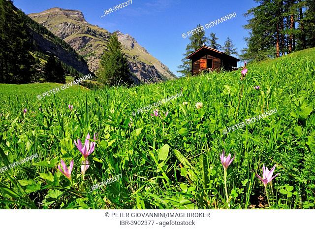 Autumn Crocus (Colchicum autumnale) in front of a wooden cabin, Zermatt, Canton of Valais, Switzerland