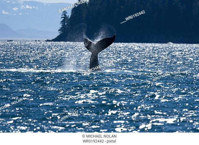 Adult humpback whale Megaptera novaeangliae tail-slapping in Chatham Strait, southeast Alaska, USA