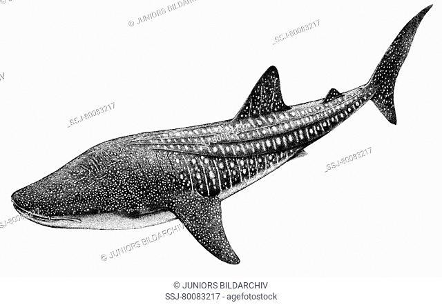 DEU, 2008: Whale Shark (Rhincodon typus), drawing