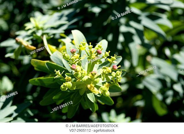Salvagens spurge (Euphorbia anachoreta) is a shrub endemic of Ilhas Salvagens, Portugal. Inflorescence detail