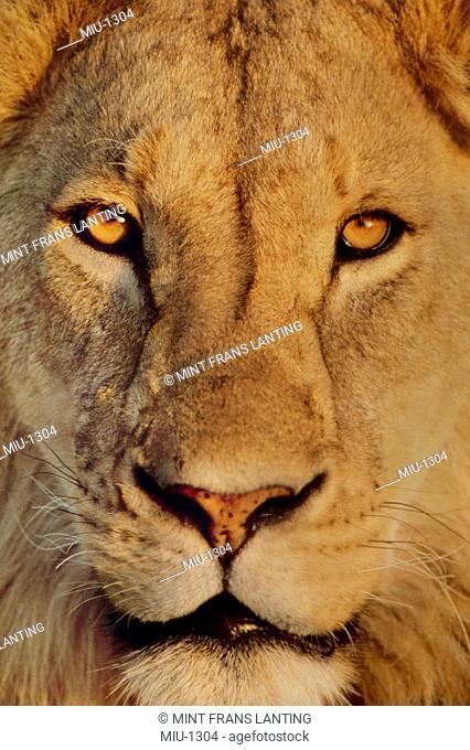 Lion face, Panthera leo, Ngorongoro Crater, Tanzania
