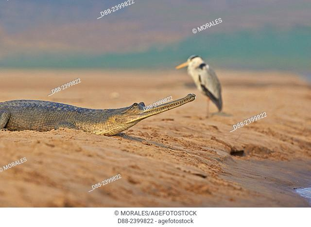 Asia,India,Uttar Pradesh,Chambal river,Gharial (Gavialis gangeticus),on the sand of the river,with a grey heron
