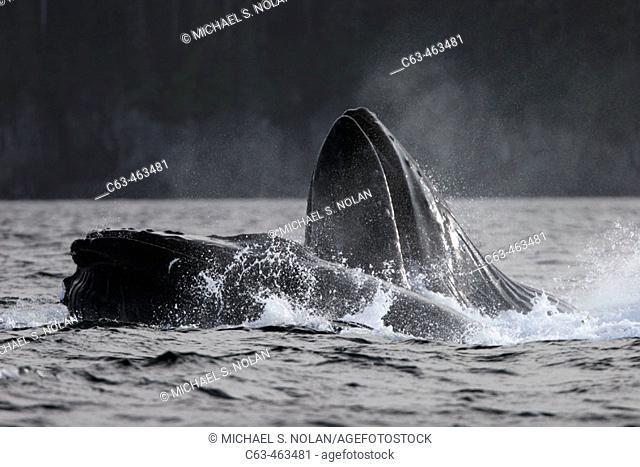 Adult Humpback Whales (Megaptera novaeangliae) cooperative bubble-net feeding for herring in Iyoukeen Bay, Chichagof Island, Southeast Alaska