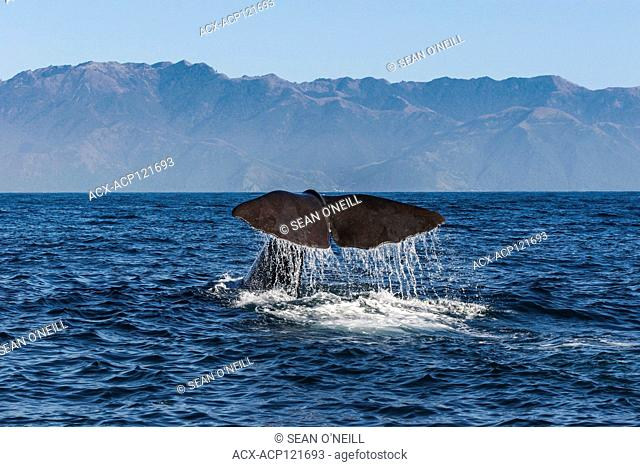 Sperm Whale Tail (Physeter macrocephalus), Kaikour, South Island, New Zealand