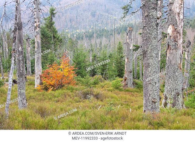 A large scale bark beetle infestation caused a lot of dead trees at Mountain Rachel - Bavarian Forest national park - Germany