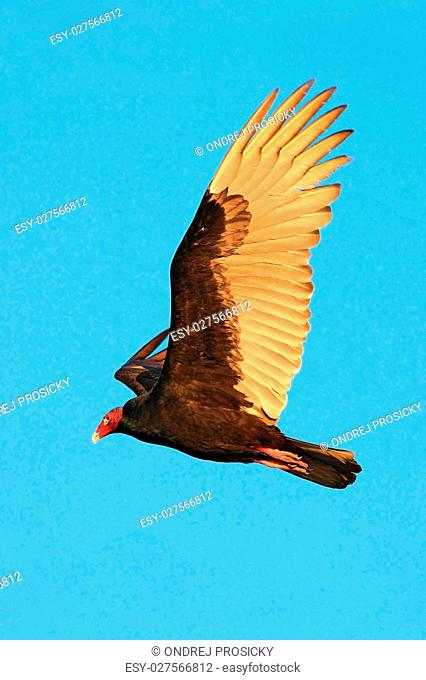 Flying vulture with blue sky, evening sun. Turkey vulture, Catha