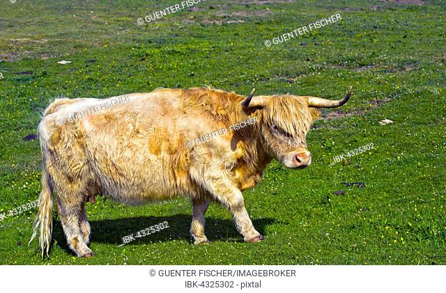 Highland Cattle or Kyloe standing in a pasture, Scotland, United Kingdom