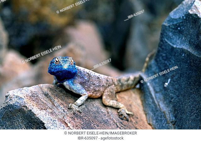Lizard (Agamidae), Tok Tokkie Trail, Namib Desert, NamibRand Nature Reserve, Namibia, Africa