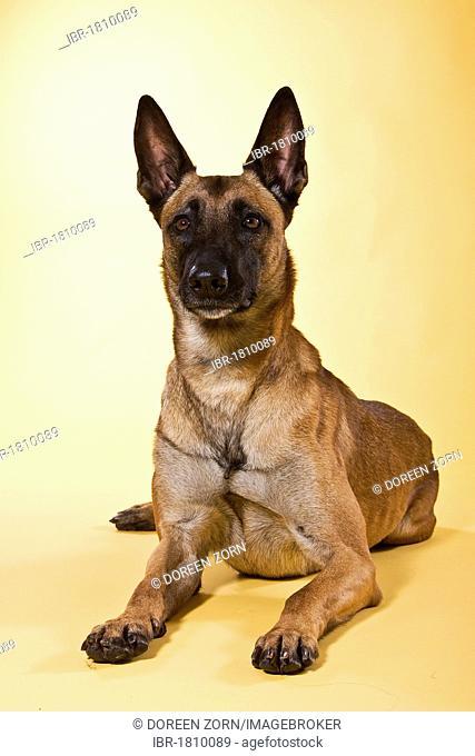 Malinois, shepherd dog, lying down