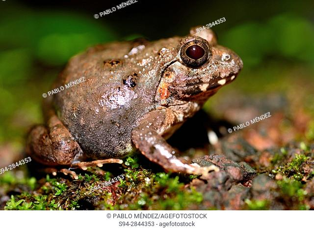 Indian burrowing frog (Sphaerotheca breviceps) in Cotigao sanctuary, Goa, India