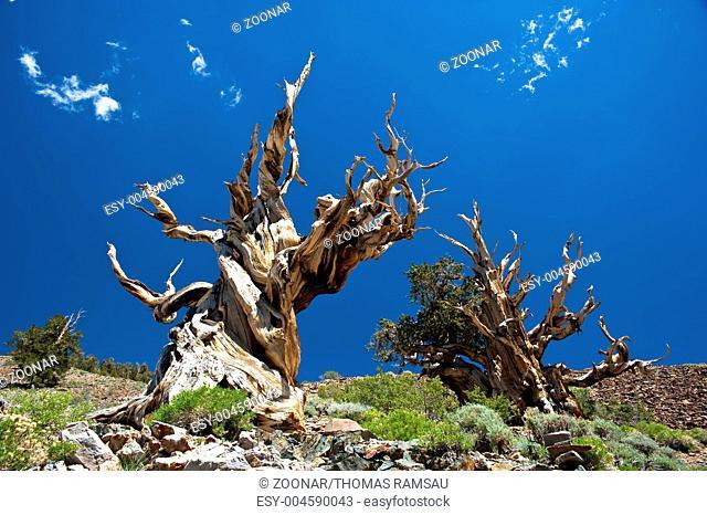 Grannenkiefern im Ancient Bristlecone Pine Forest/