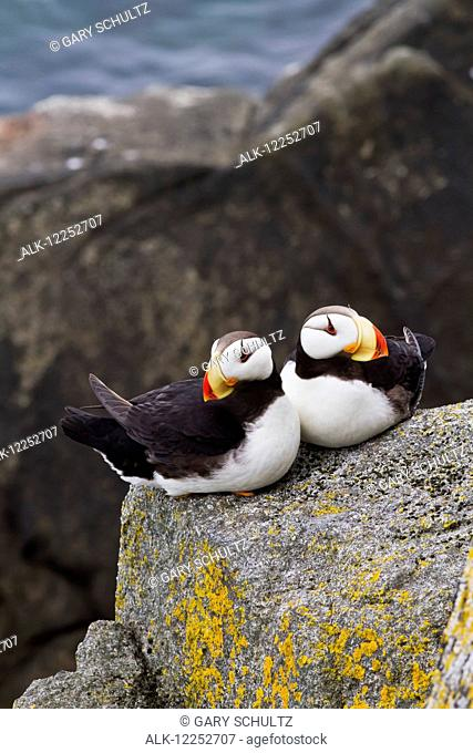 Pair of Horned Puffins (Fratercula corniculata) sitting on a lichen covered boulder, Walrus Islands State Game Sanctuary, Round Island, Bristol Bay, Alaska