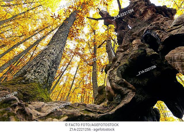 Chestnut grove of 'El Tiemblo'. Iruelas Valley, Sierra de Gredos. Avila, Castilla Leon. Spain