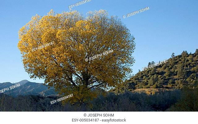 Golden cottonwood with setting sunlight near highway 33 and Lockwood Valley road, California
