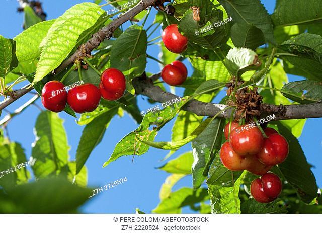 Cherries in tree farm