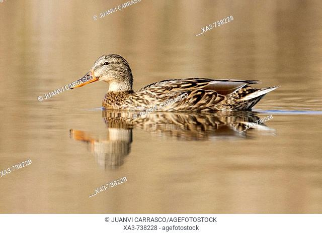 Female mallard , Anas platyrhynchos , swimming on lagoon with reflection