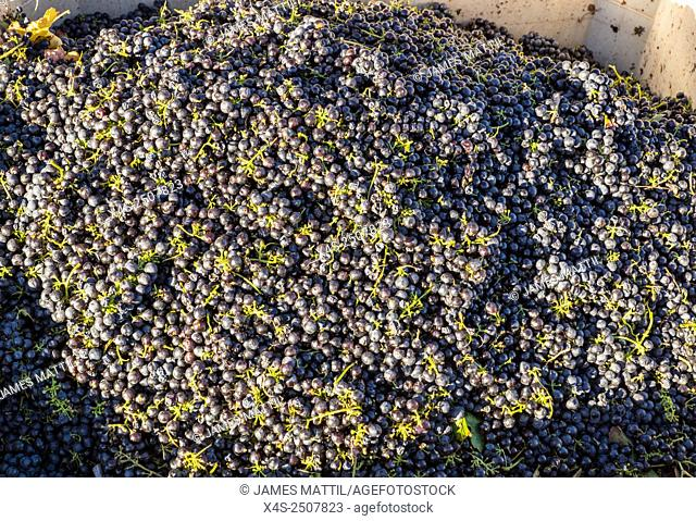 Grapes harvested from a California vineyard