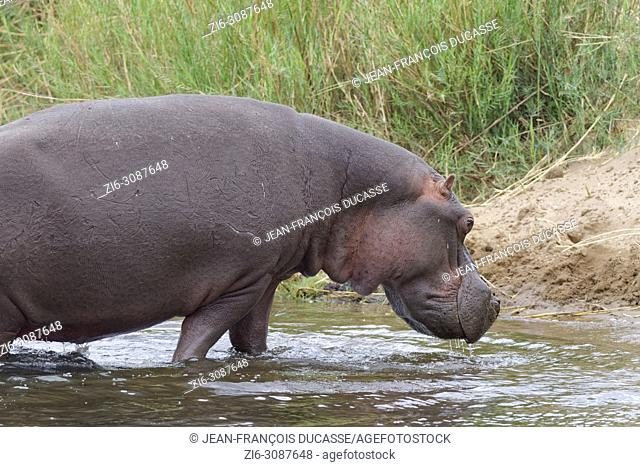 Hippopotamus (Hippopotamus amphibius) going out of the water of the Olifants River, Kruger National Park, South Africa, Africa