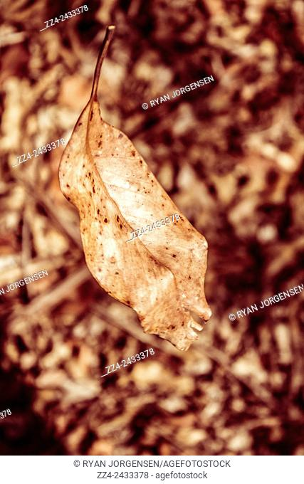 Old dry brown autumn leaf falling from a tree onto brown park floor. Leaves in free fall
