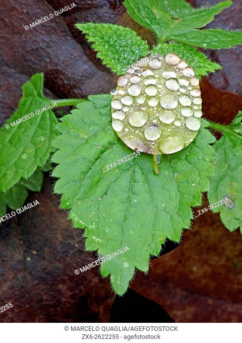 Raindrops on a leaf. Winter time at Montseny Natural Park. Barcelona province, Catalonia, Spain