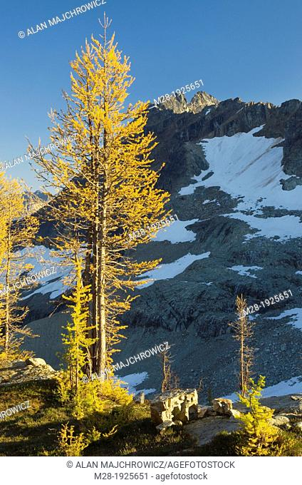 Subalpine Larch Larix lyallii and Corteo Peak, North Cascades Washington