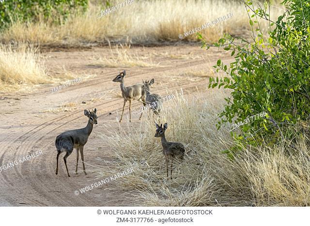 Kirks dik-diks, small antelopes, in the Samburu National Reserve in Kenya
