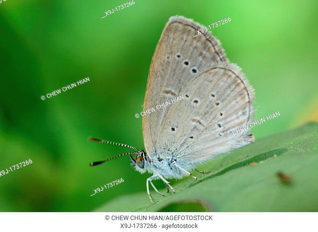Butterfly Common tit Hypolycaena erylus, Chilades pandava, Borneo