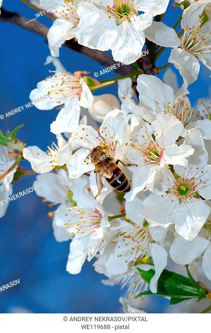 Honey bee Apis mellifera collecting pollen, Ukraine, Eastern Europe