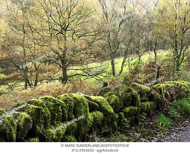 Trees and Moss Covered Dry STone Wall in Abel Cote Wood in Autumn near Pecket Well Hebden Bridge West Yorkshire England