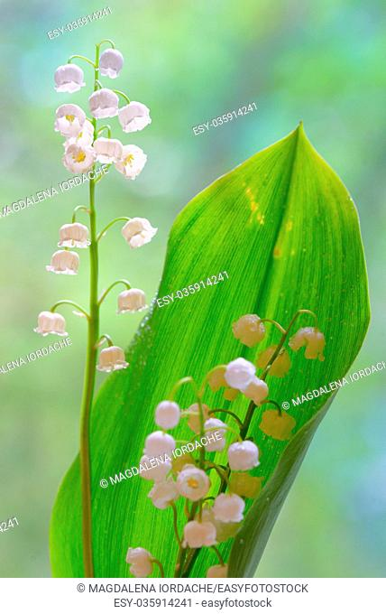 lilies of the valley flowers isolated in nature