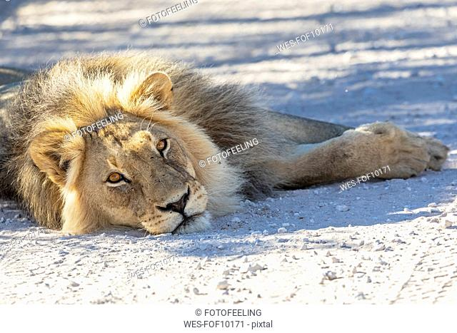 Botswana, Kgalagadi Transfrontier Park, lion, Panthera leo, male, lying on gravel road