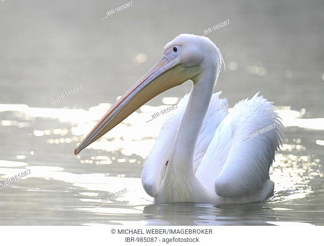 White Pelican (Pelecanus onocrotalus) swimming on a lake in the morning fog