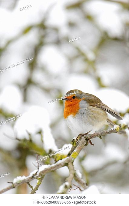 European Robin (Erithacus rubecula) adult, perched on snow covered twig in heathland, Cannock Chase, Staffordshire, England, January