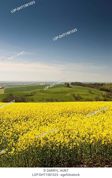 England, East Riding of Yorkshire, Millington. Yellow flowers of the rape crop seen on the Yorkshire Wolds, with the Vale of York stretching out in the...