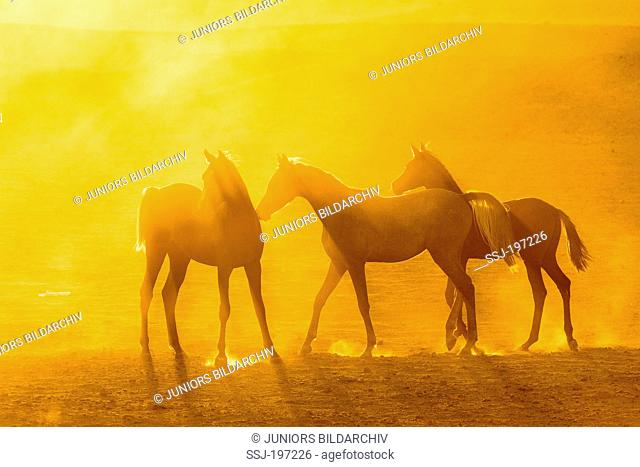 Arabian Horse. Trio of young mares in golden evening light in dusty desert. Egypt