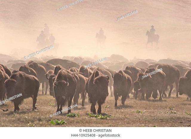 Bison, bos bison, buffalo, herd, foliage, autumn, fall, stampede, dust, prairie, grassland, Great Plains, Custer, State Park, herding, Black Hills, South Dakota
