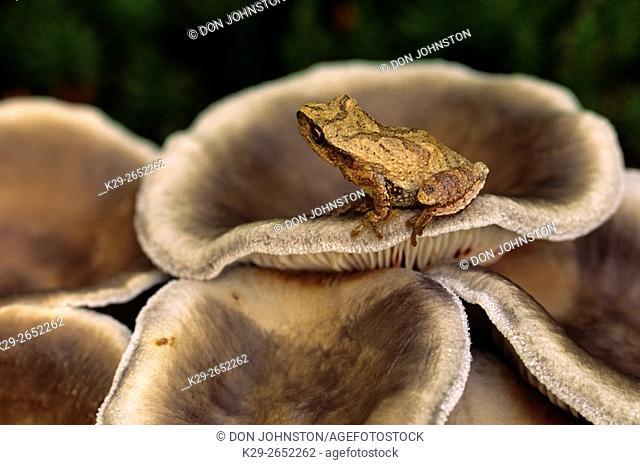Spring peeper (Hyla crucifer) on grayling mushrooms, Greater Sudbury, Ontario, Canada