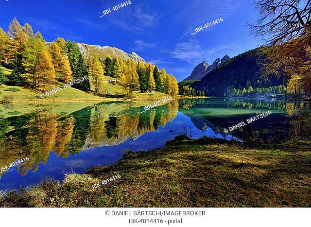 Autumnally coloured larch trees reflected in lake Lei da Palpuogna, Albula Pass, Canton of Graubünden, Switzerland
