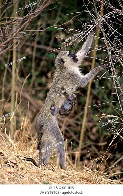 Vervet monkey, (Chlorocebus pygerythrus), adult female with young foraging, Kruger Nationalpark, South Africa, Africa