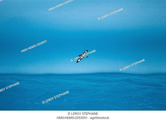 South Atlantic Ocean, South Georgia Island, cape petrel (Daption capense), flying