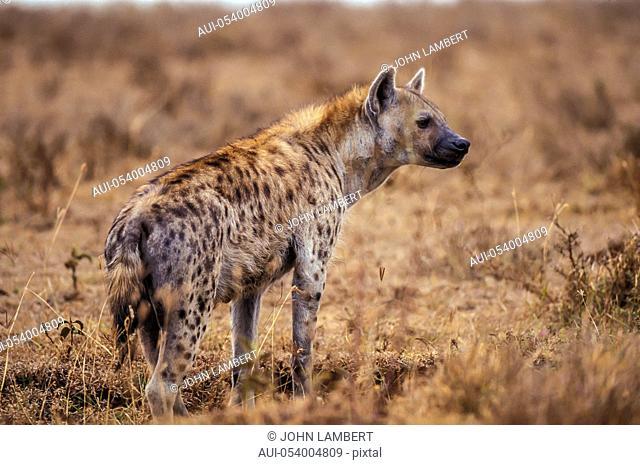 africa, hyena