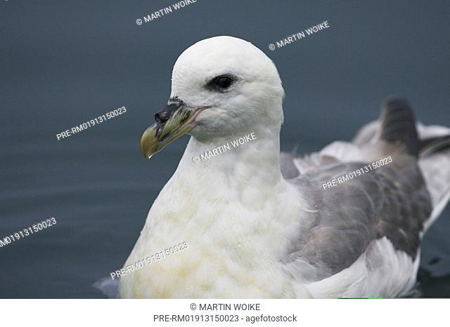 Northern Fulmar swimming, Fulmarus glacialis, Snaefellsnes, Iceland, Scandinavia, Europe