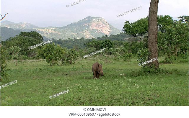White Rhinoceros walking towards camera through grass area with trees and mountains behind