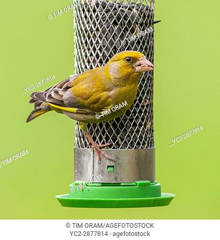 A male Greenfinch (Carduelis chloris) in the Uk