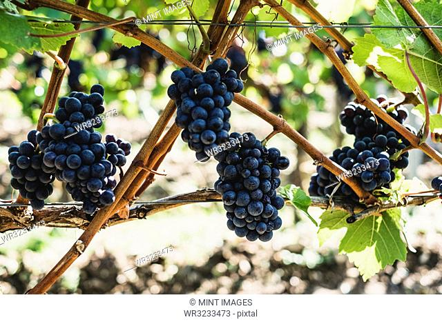 Close up of bunches of black grapes on a vine