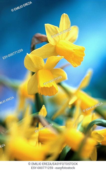 Dwarf daffodils Narcissus pseudonarcissus hybr